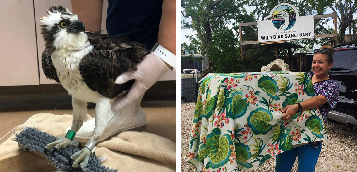 Injured Osprey